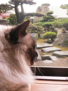 Coco, sacre de birmanie exile au Japon